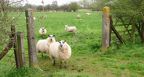 sheep-gate.jpg