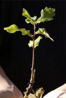 baby_tree-prespective.jpg